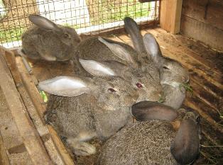 Бизнес-идея кролиководства. Разведению кроликов мясных пород